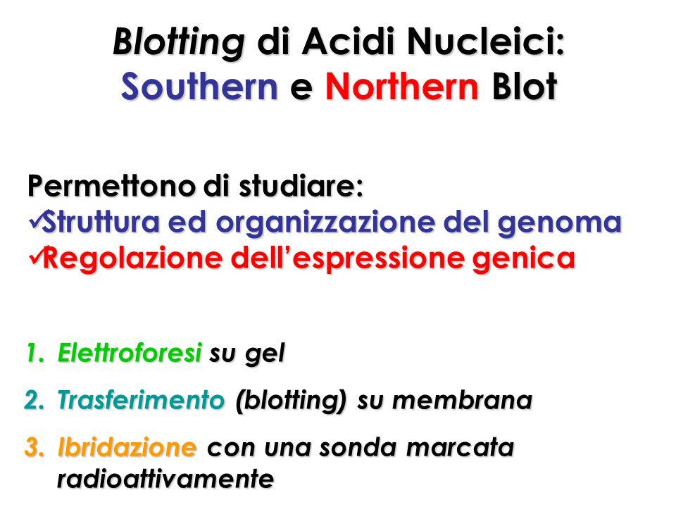 Blotting di Acidi Nucleici: Southern e Northern Blot 1.Elettroforesi su gel 2.Trasferimento (blotting) su membrana 3.Ibridazione con una sonda marcata radioattivamente Permettono di studiare: Struttura ed organizzazione del genoma Struttura ed organizzazione del genoma Regolazione dellespressione genica Regolazione dellespressione genica