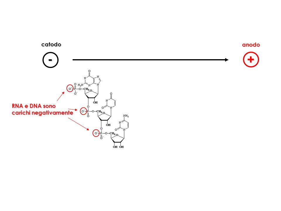 - + RNA e DNA sono carichi negativamente catodo anodo