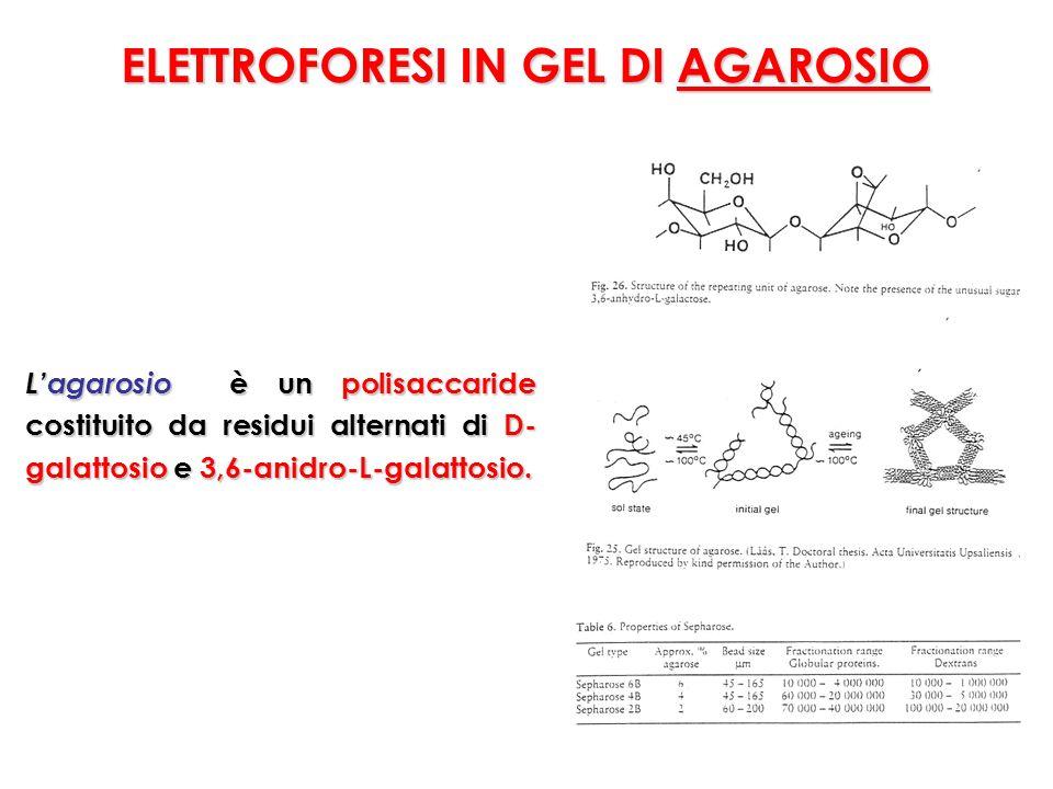 ELETTROFORESI IN GEL DI AGAROSIO Lagarosio è un polisaccaride costituito da residui alternati di D- galattosio e 3,6-anidro-L-galattosio.