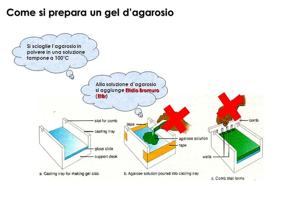 Come si prepara un gel dagarosio Alla soluzione dagarosio si aggiunge Etidio Bromuro (EtBr) Si scioglie lagarosio in polvere in una soluzione tampone a 100°C