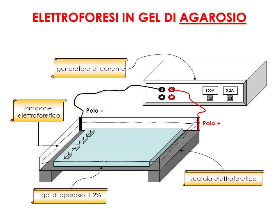 100V0,2A tampone elettroforetico generatore di corrente Polo + Polo - gel di agarosio 1.2% scatola elettroforetica ELETTROFORESI IN GEL DI AGAROSIO