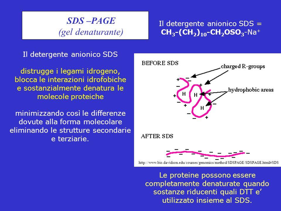 SDS –PAGE (gel denaturante) Il detergente anionico SDS distrugge i legami idrogeno, blocca le interazioni idrofobiche e sostanzialmente denatura le mo