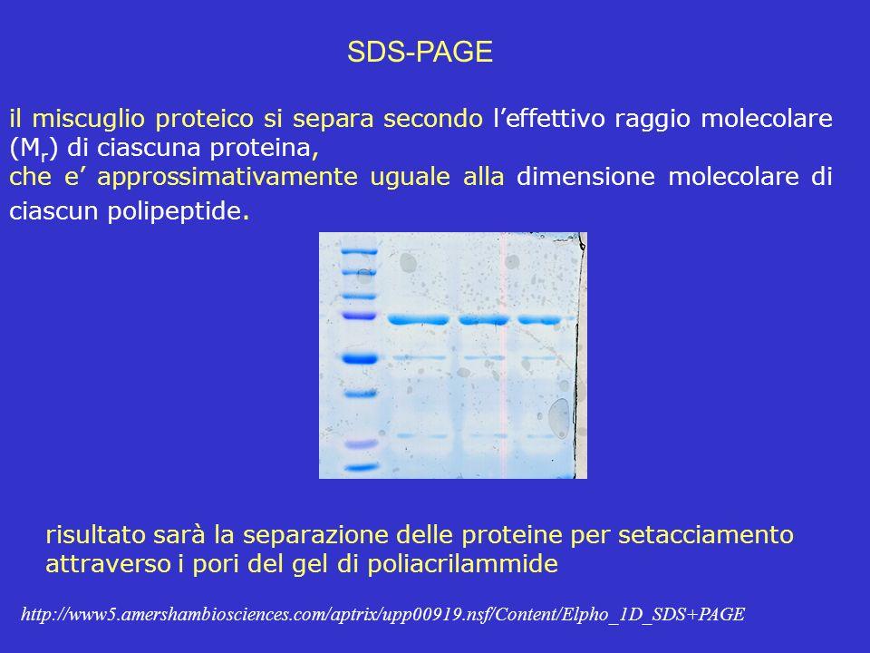 SDS-PAGE il miscuglio proteico si separa secondo leffettivo raggio molecolare (M r ) di ciascuna proteina, che e approssimativamente uguale alla dimen