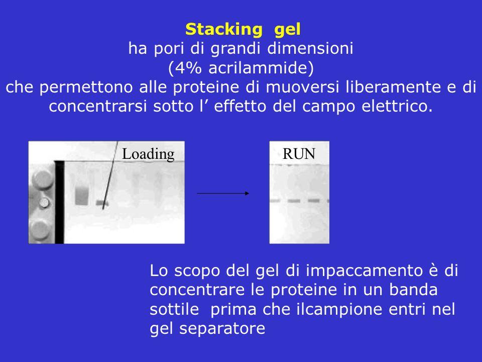 Stacking gel ha pori di grandi dimensioni (4% acrilammide) che permettono alle proteine di muoversi liberamente e di concentrarsi sotto l effetto del