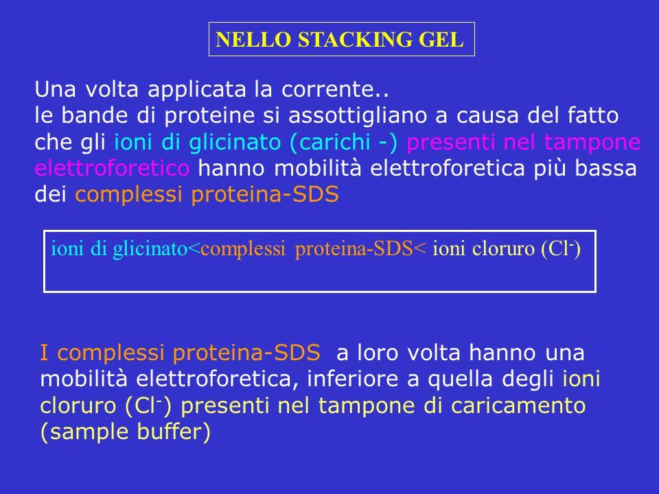 Una volta applicata la corrente.. le bande di proteine si assottigliano a causa del fatto che gli ioni di glicinato (carichi -) presenti nel tampone e