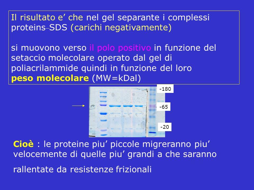 Il risultato e che nel gel separante i complessi proteins _ SDS (carichi negativamente) si muovono verso il polo positivo in funzione del setaccio mol