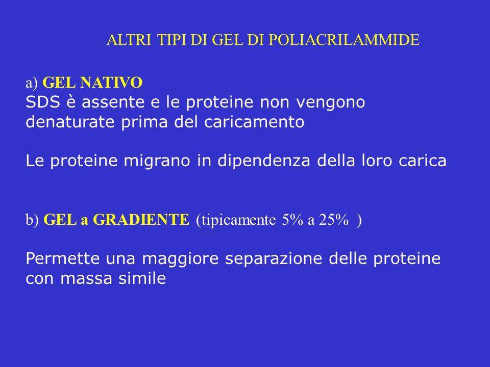 ALTRI TIPI DI GEL DI POLIACRILAMMIDE a) GEL NATIVO SDS è assente e le proteine non vengono denaturate prima del caricamento Le proteine migrano in dip