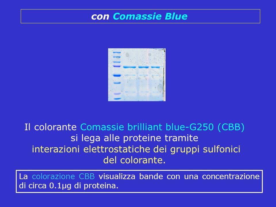 con Comassie Blue Il colorante Comassie brilliant blue-G250 (CBB) si lega alle proteine tramite interazioni elettrostatiche dei gruppi sulfonici del c