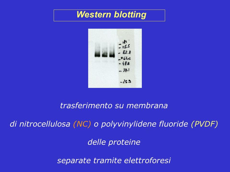 Western blotting trasferimento su membrana di nitrocellulosa (NC) o polyvinylidene fluoride (PVDF) delle proteine separate tramite elettroforesi