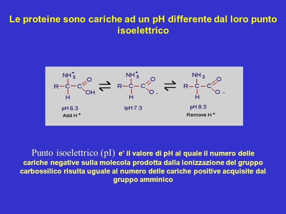 Le proteine sono cariche ad un pH differente dal loro punto isoelettrico Punto isoelettrico (pI) e il valore di pH al quale il numero delle cariche ne