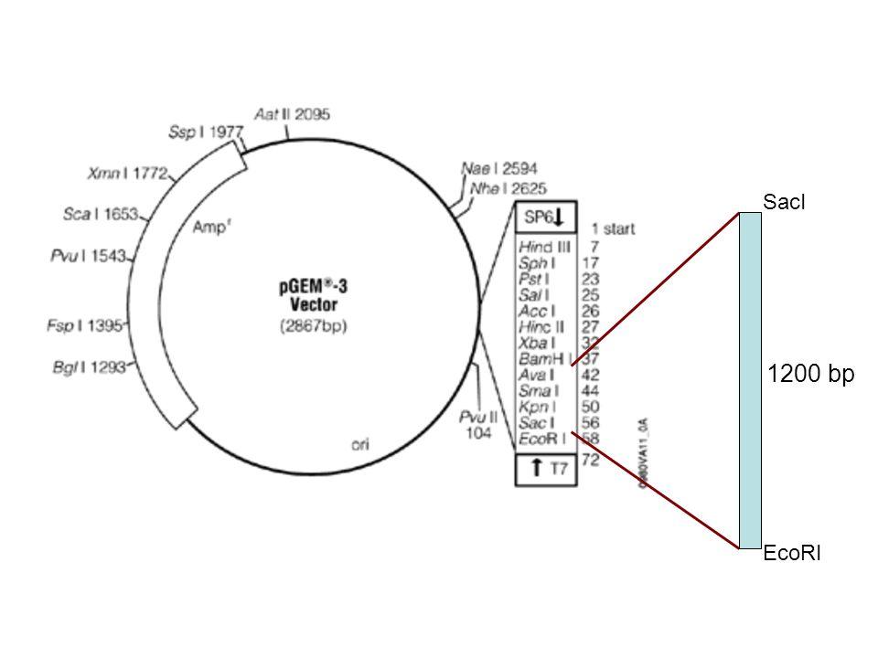 Fattori che influenzano libridazione Temperatura Forza ionica pH