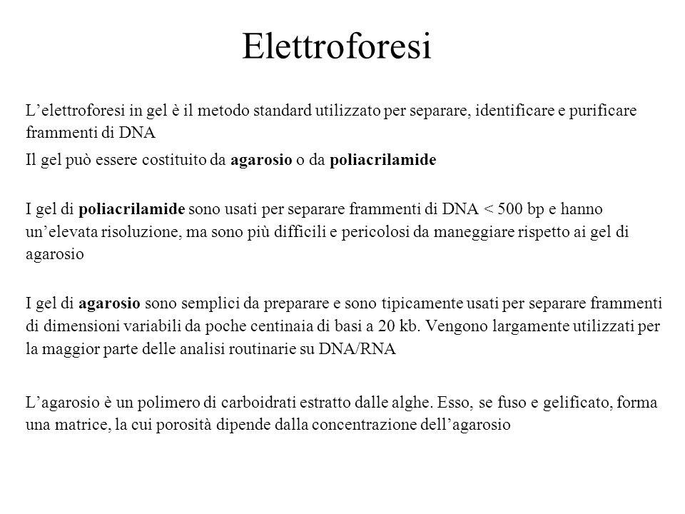 Elettroforesi Lelettroforesi in gel è il metodo standard utilizzato per separare, identificare e purificare frammenti di DNA Il gel può essere costitu