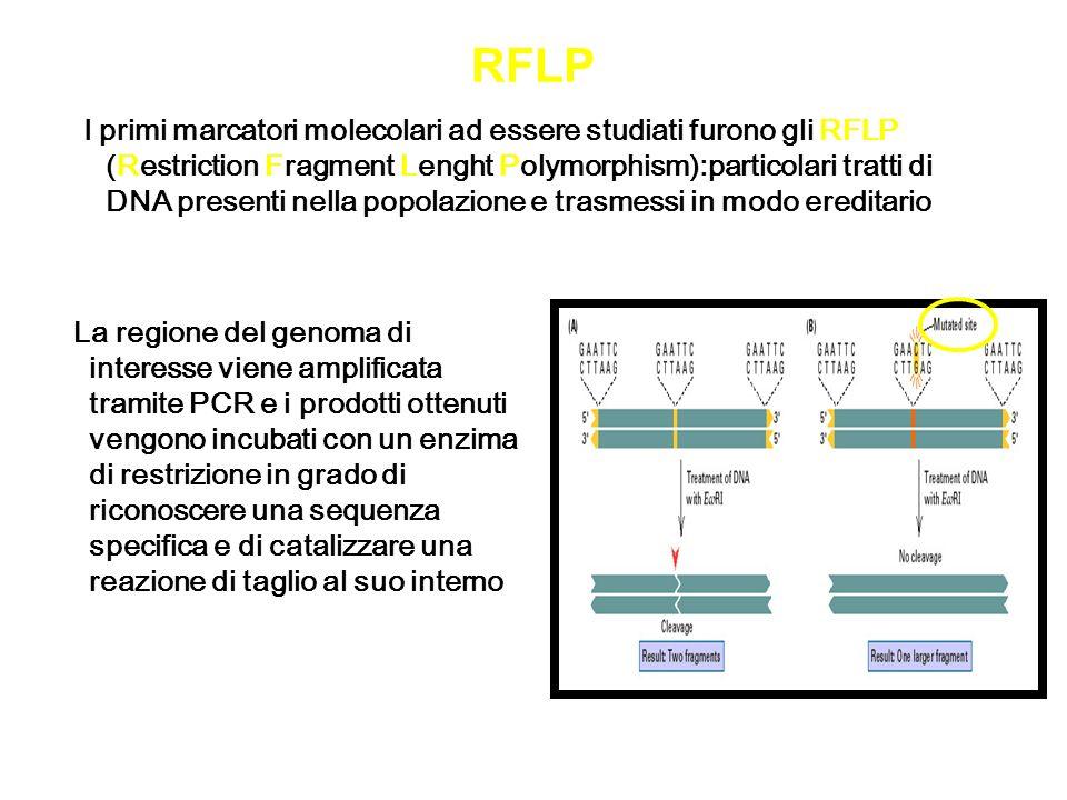 RFLP La regione del genoma di interesse viene amplificata tramite PCR e i prodotti ottenuti vengono incubati con un enzima di restrizione in grado di
