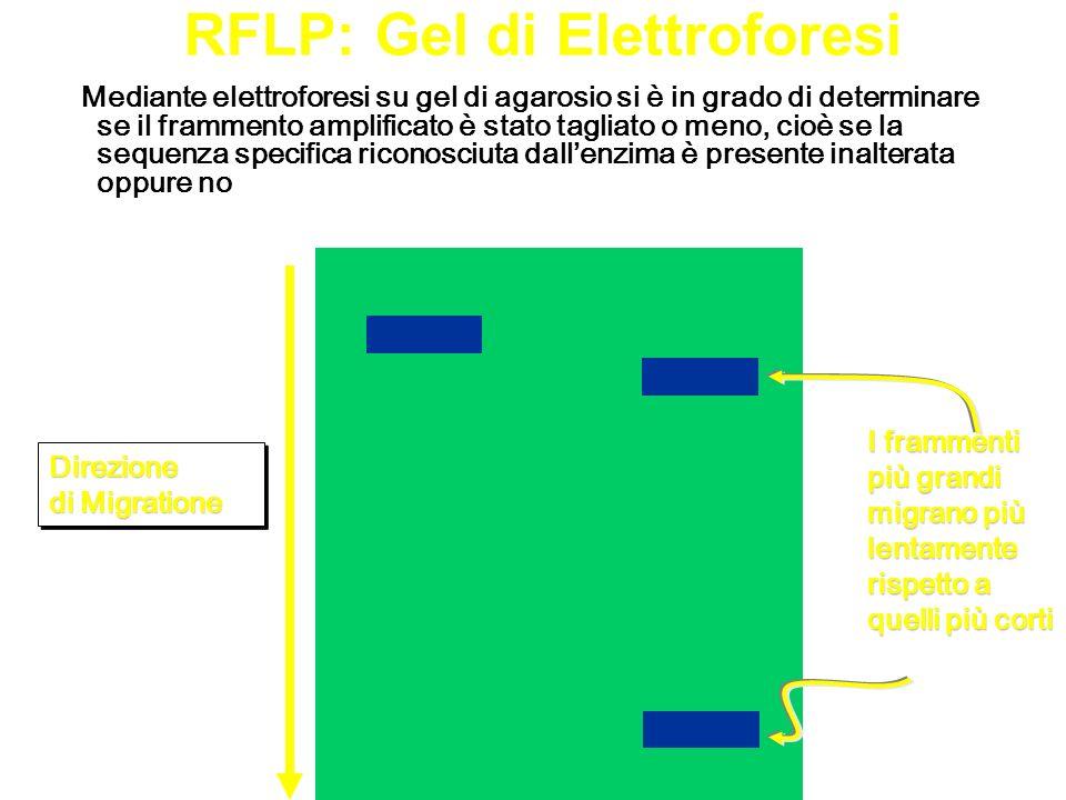 RFLP: Gel di Elettroforesi Mediante elettroforesi su gel di agarosio si è in grado di determinare se il frammento amplificato è stato tagliato o meno,