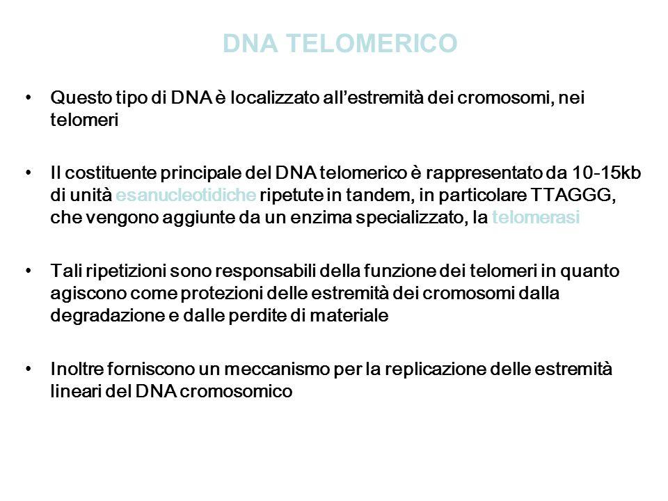 DNA TELOMERICO Questo tipo di DNA è localizzato allestremità dei cromosomi, nei telomeri Il costituente principale del DNA telomerico è rappresentato