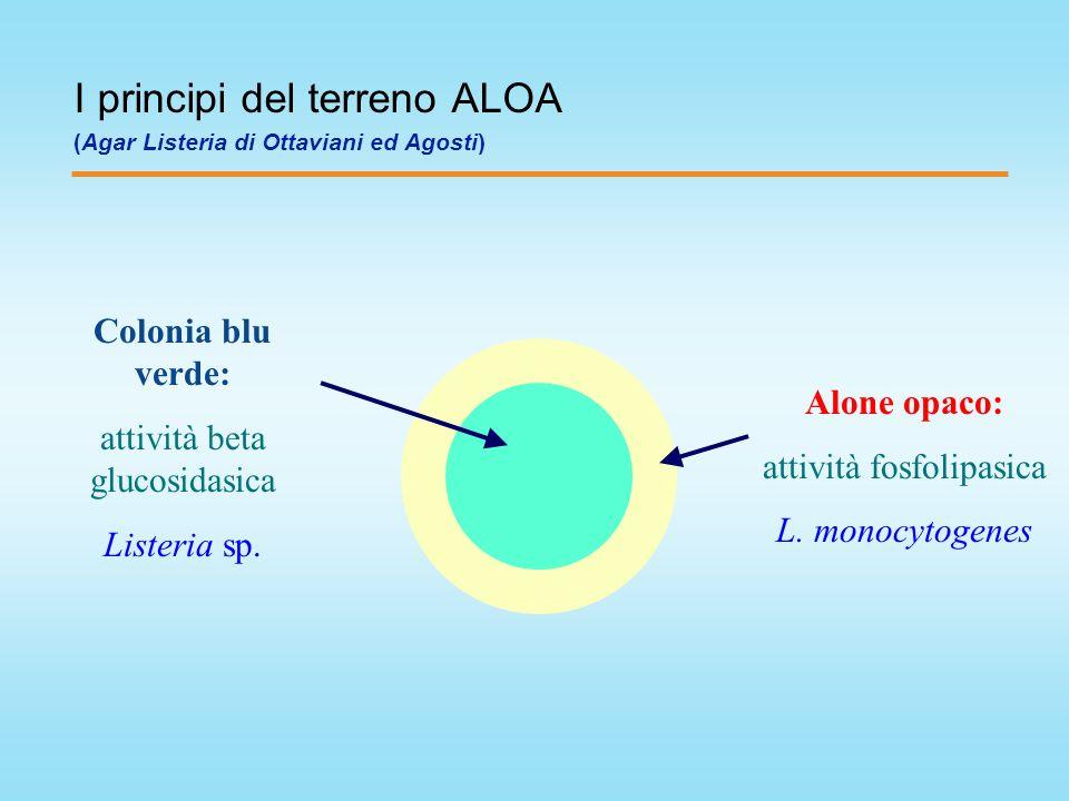 Alone opaco: attività fosfolipasica L. monocytogenes Colonia blu verde: attività beta glucosidasica Listeria sp. I principi del terreno ALOA (Agar Lis