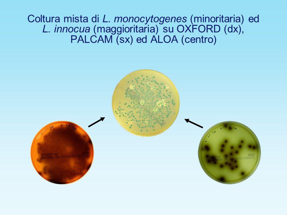 Coltura mista di L. monocytogenes (minoritaria) ed L. innocua (maggioritaria) su OXFORD (dx), PALCAM (sx) ed ALOA (centro)