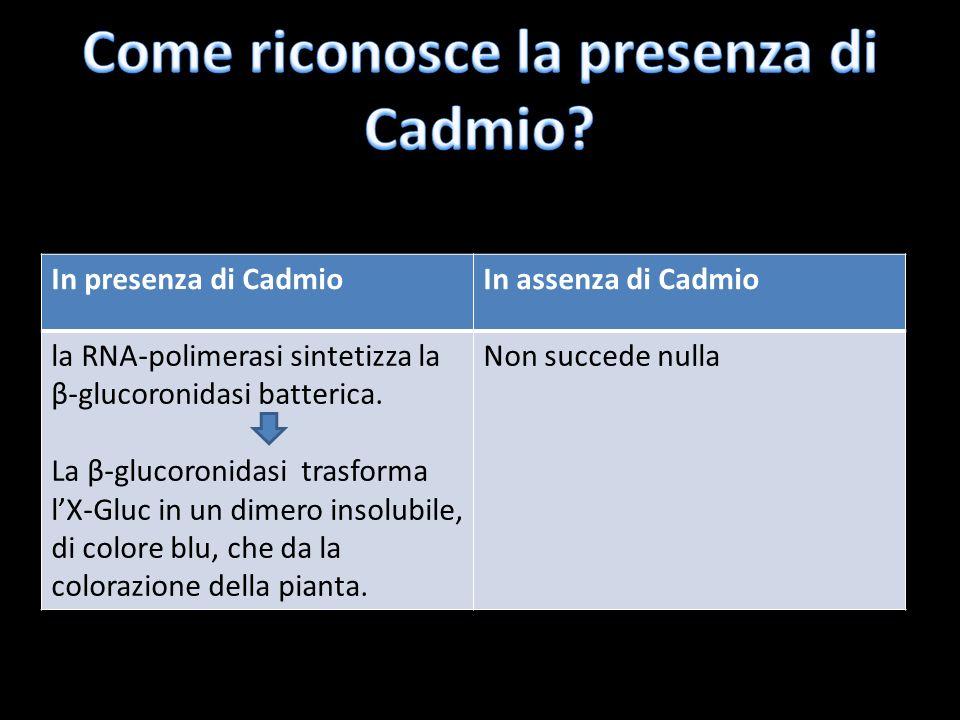 In presenza di CadmioIn assenza di Cadmio la RNA-polimerasi sintetizza la β-glucoronidasi batterica. La β-glucoronidasi trasforma lX-Gluc in un dimero
