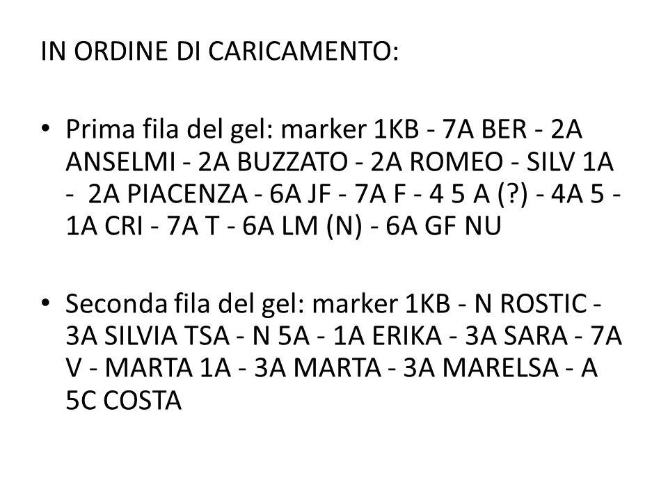 IN ORDINE DI CARICAMENTO: Prima fila del gel: marker 1KB - 7A BER - 2A ANSELMI - 2A BUZZATO - 2A ROMEO - SILV 1A - 2A PIACENZA - 6A JF - 7A F - 4 5 A (?) - 4A 5 - 1A CRI - 7A T - 6A LM (N) - 6A GF NU Seconda fila del gel: marker 1KB - N ROSTIC - 3A SILVIA TSA - N 5A - 1A ERIKA - 3A SARA - 7A V - MARTA 1A - 3A MARTA - 3A MARELSA - A 5C COSTA