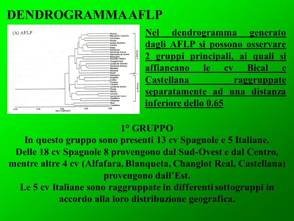 1° GRUPPO In questo gruppo sono presenti 13 cv Spagnole e 5 Italiane. Delle 18 cv Spagnole 8 provengono dal Sud-Ovest e dal Centro, mentre altre 4 cv