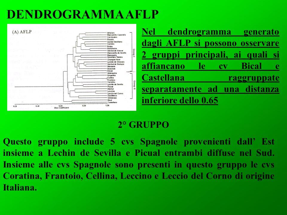DENDROGRAMMA AFLP 2° GRUPPO Nel dendrogramma generato dagli AFLP si possono osservare 2 gruppi principali, ai quali si affiancano le cv Bical e Castel