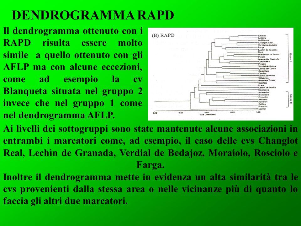 Il dendrogramma ottenuto con i RAPD risulta essere molto simile a quello ottenuto con gli AFLP ma con alcune eccezioni, come ad esempio la cv Blanqueta situata nel gruppo 2 invece che nel gruppo 1 come nel dendrogramma AFLP.