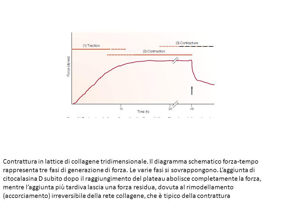 Contrattura in lattice di collagene tridimensionale. Il diagramma schematico forza-tempo rappresenta tre fasi di generazione di forza. Le varie fasi s