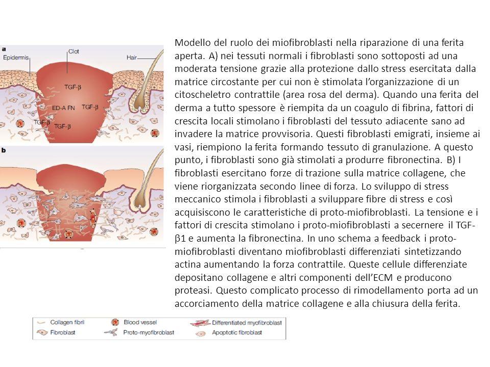 Modello del ruolo dei miofibroblasti nella riparazione di una ferita aperta. A) nei tessuti normali i fibroblasti sono sottoposti ad una moderata tens