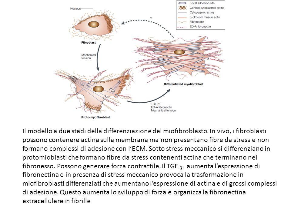 Il modello a due stadi della differenziazione del miofibroblasto. In vivo, i fibroblasti possono contenere actina sulla membrana ma non presentano fib