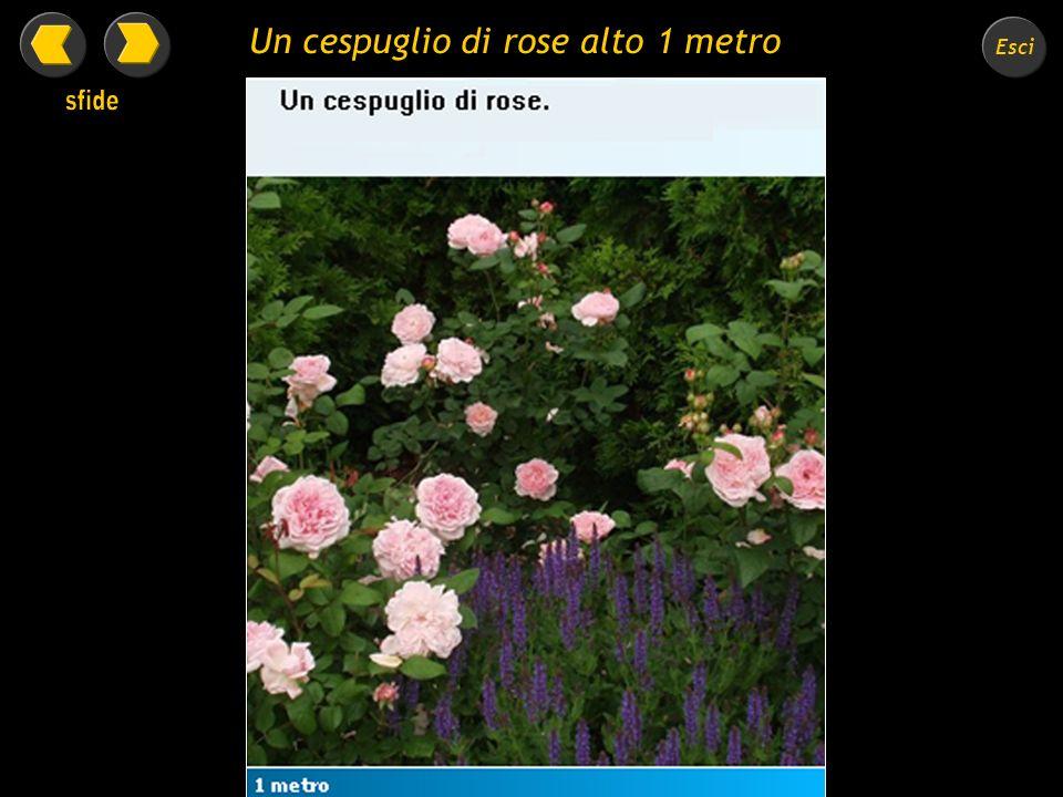 Esci Un cespuglio di rose alto 1 metro