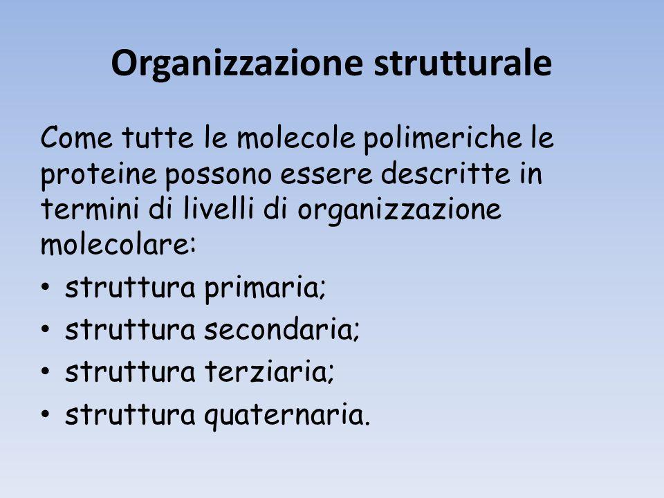 Organizzazione strutturale Come tutte le molecole polimeriche le proteine possono essere descritte in termini di livelli di organizzazione molecolare: struttura primaria; struttura secondaria; struttura terziaria; struttura quaternaria.