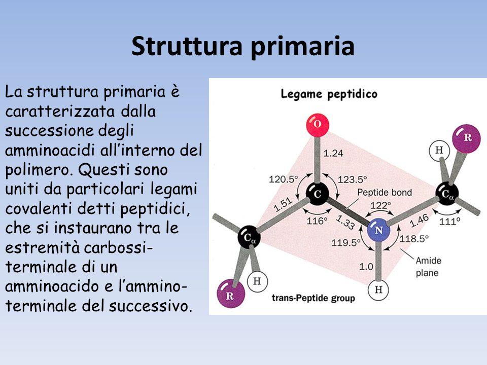 Struttura primaria La struttura primaria è caratterizzata dalla successione degli amminoacidi allinterno del polimero.