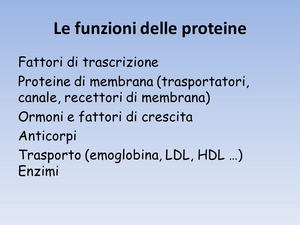 Le funzioni delle proteine Fattori di trascrizione Proteine di membrana (trasportatori, canale, recettori di membrana) Ormoni e fattori di crescita Anticorpi Trasporto (emoglobina, LDL, HDL …) Enzimi