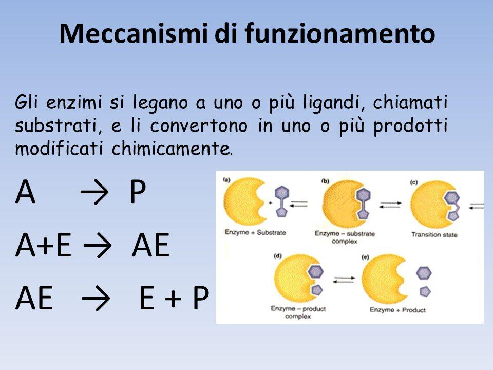 Meccanismi di funzionamento Gli enzimi si legano a uno o più ligandi, chiamati substrati, e li convertono in uno o più prodotti modificati chimicamente.