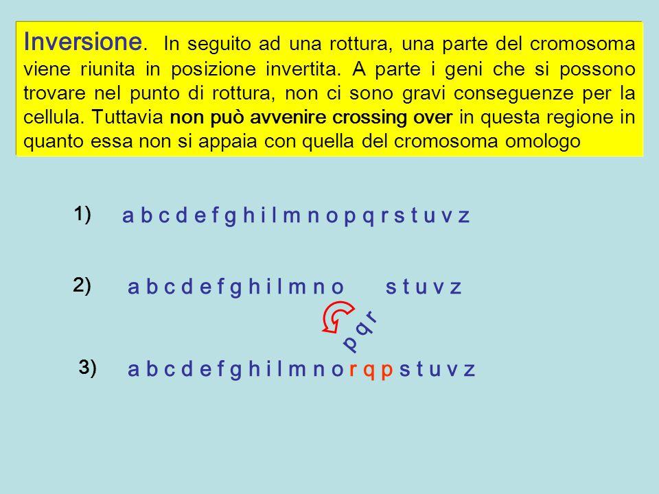 Inversione. In seguito ad una rottura, una parte del cromosoma viene riunita in posizione invertita. A parte i geni che si possono trovare nel punto d