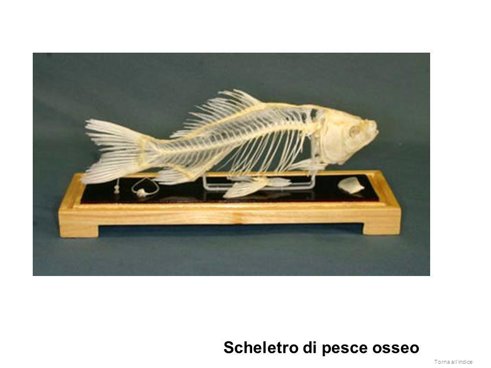 Scheletro di pesce osseo