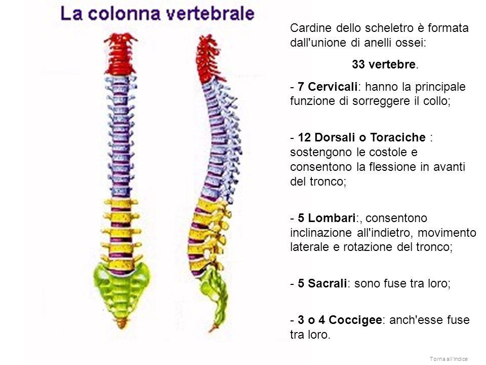Cardine dello scheletro è formata dall'unione di anelli ossei: 33 vertebre. - - 7 Cervicali: hanno la principale funzione di sorreggere il collo; - 12