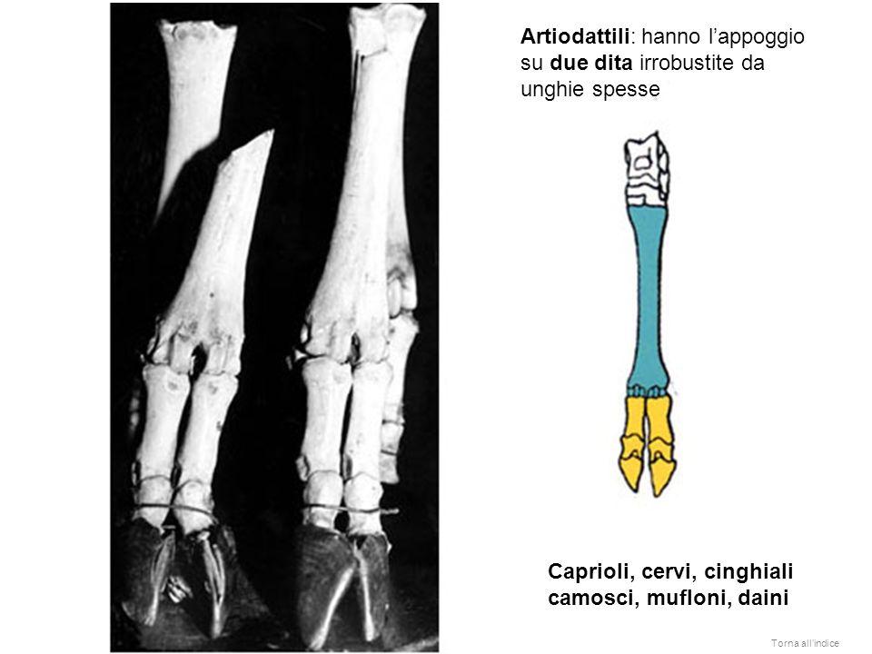 Artiodattili: hanno lappoggio su due dita irrobustite da unghie spesse Caprioli, cervi, cinghiali camosci, mufloni, daini Torna allindice