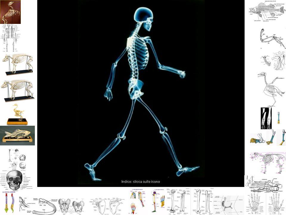 Cardine dello scheletro è formata dall unione di anelli ossei: 33 vertebre.