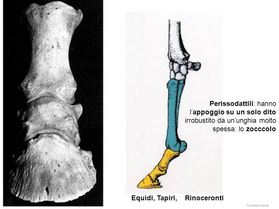 Equidi, Tapiri, Rinoceronti Perissodattili: hanno lappoggio su un solo dito irrobustito da ununghia molto spessa: lo zocccolo Torna allindice