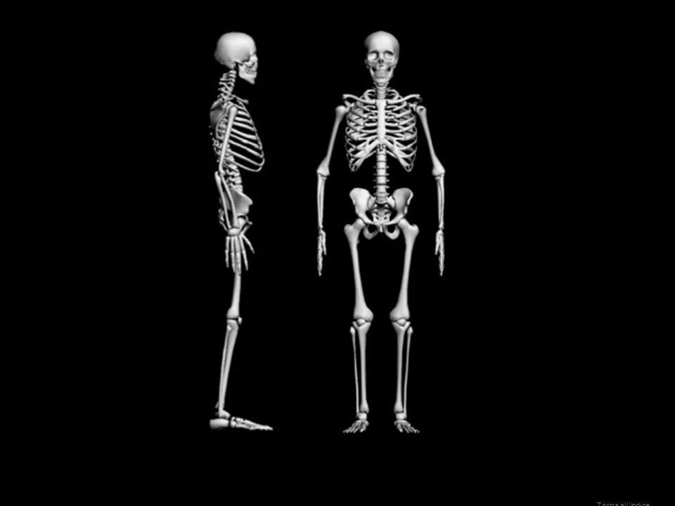 Scheletro umano Homo sapiens Torna allindice