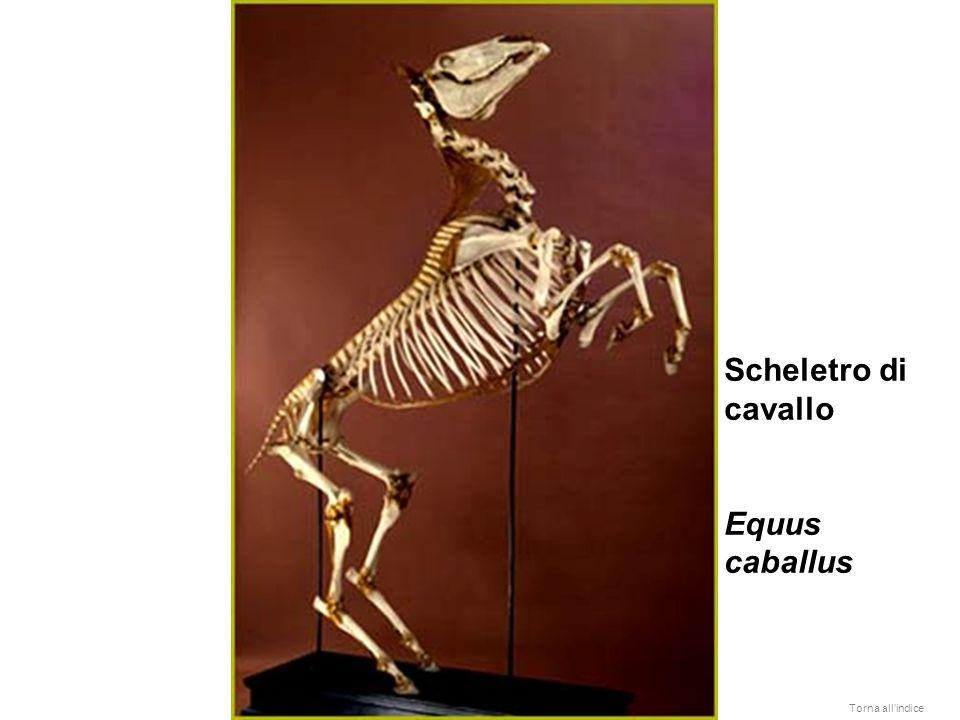 Scheletro di cavallo Equus caballus Torna allindice