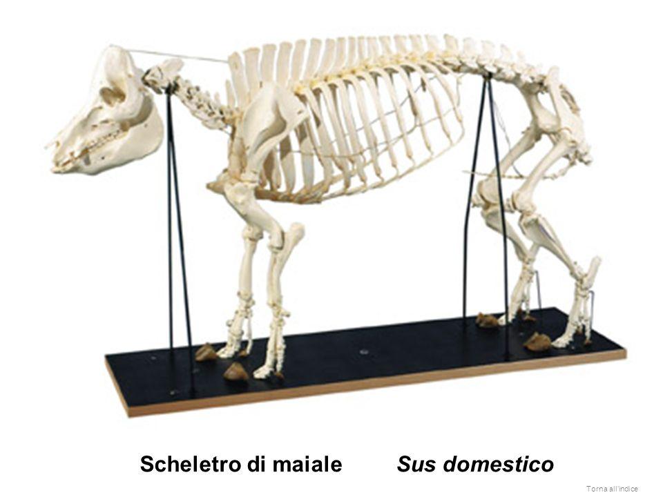 Scheletro di pesce osseo: perca gialla (Perca flavescens) Torna allindice