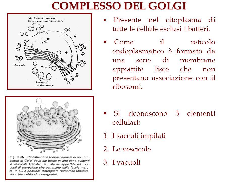 COMPLESSO DEL GOLGI Presente nel citoplasma di tutte le cellule esclusi i batteri. Come il reticolo endoplasmatico è formato da una serie di membrane