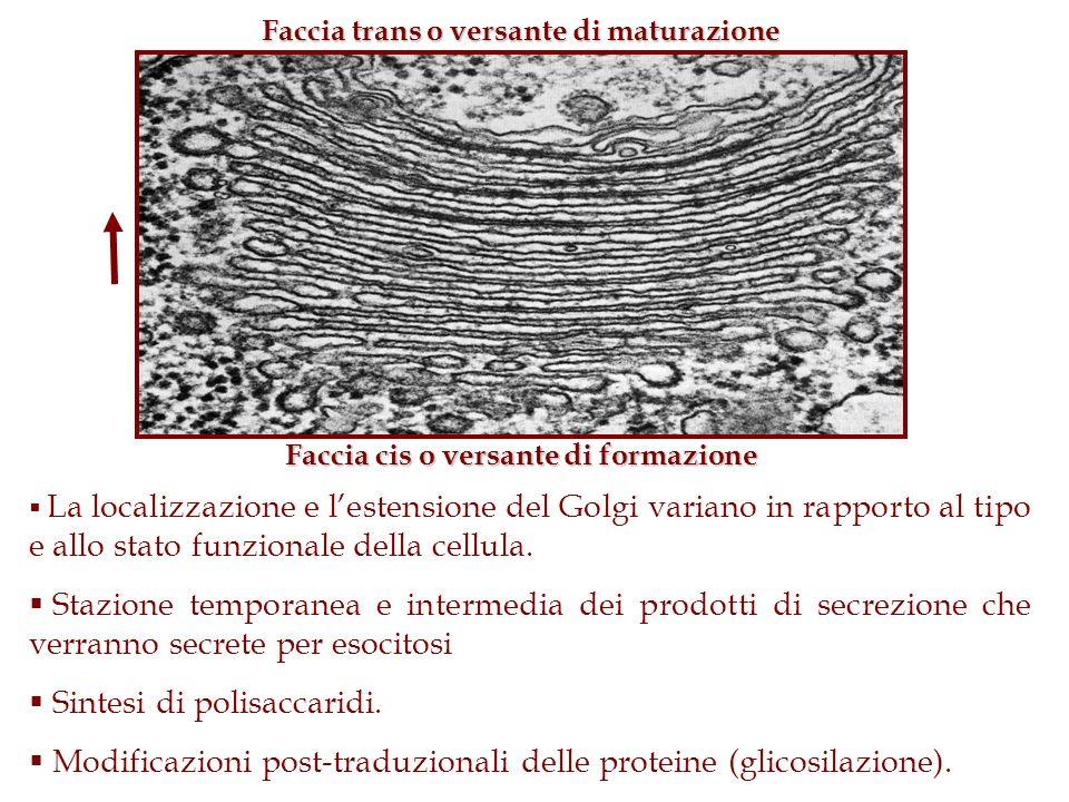 La localizzazione e lestensione del Golgi variano in rapporto al tipo e allo stato funzionale della cellula. Stazione temporanea e intermedia dei prod