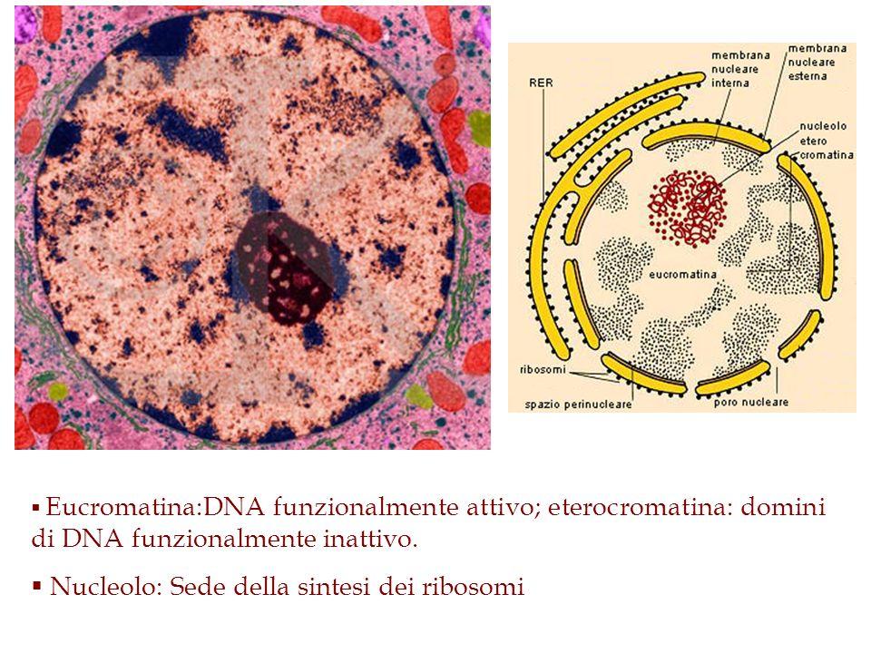 Eucromatina:DNA funzionalmente attivo; eterocromatina: domini di DNA funzionalmente inattivo. Nucleolo: Sede della sintesi dei ribosomi