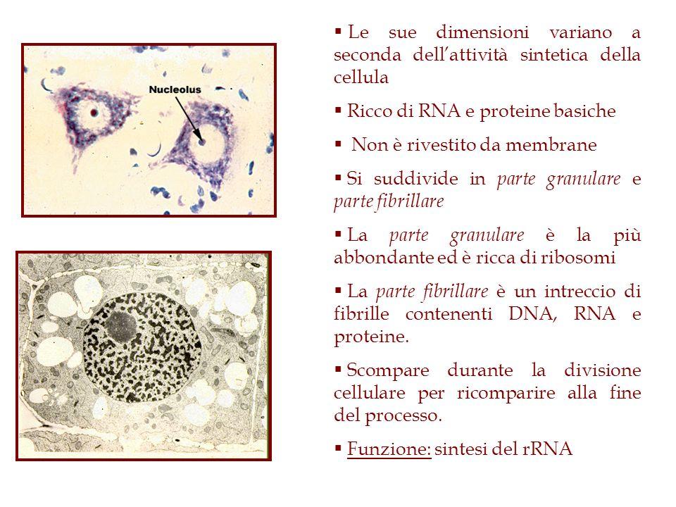 Le sue dimensioni variano a seconda dellattività sintetica della cellula Ricco di RNA e proteine basiche Non è rivestito da membrane Si suddivide in p