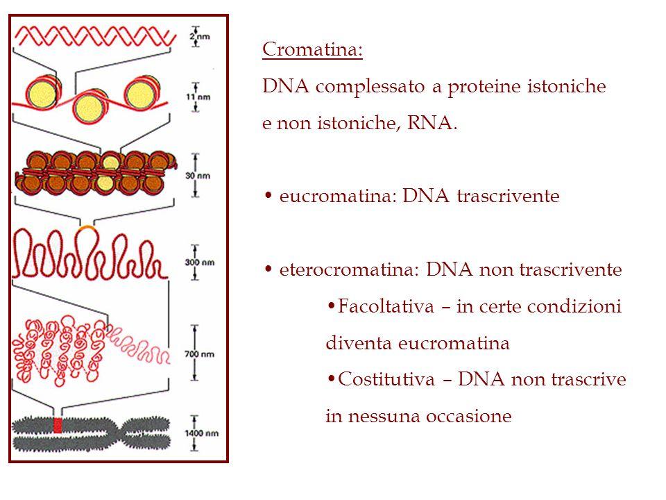 Cromatina: DNA complessato a proteine istoniche e non istoniche, RNA. eucromatina: DNA trascrivente eterocromatina: DNA non trascrivente Facoltativa –
