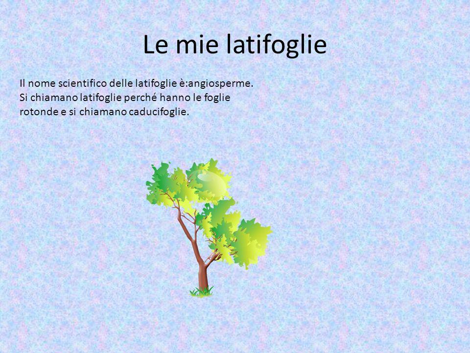 Le mie latifoglie Il nome scientifico delle latifoglie è:angiosperme. Si chiamano latifoglie perché hanno le foglie rotonde e si chiamano caducifoglie