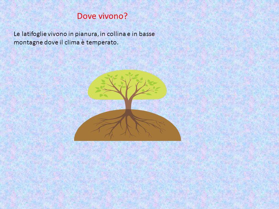 Dove vivono? Le latifoglie vivono in pianura, in collina e in basse montagne dove il clima è temperato.